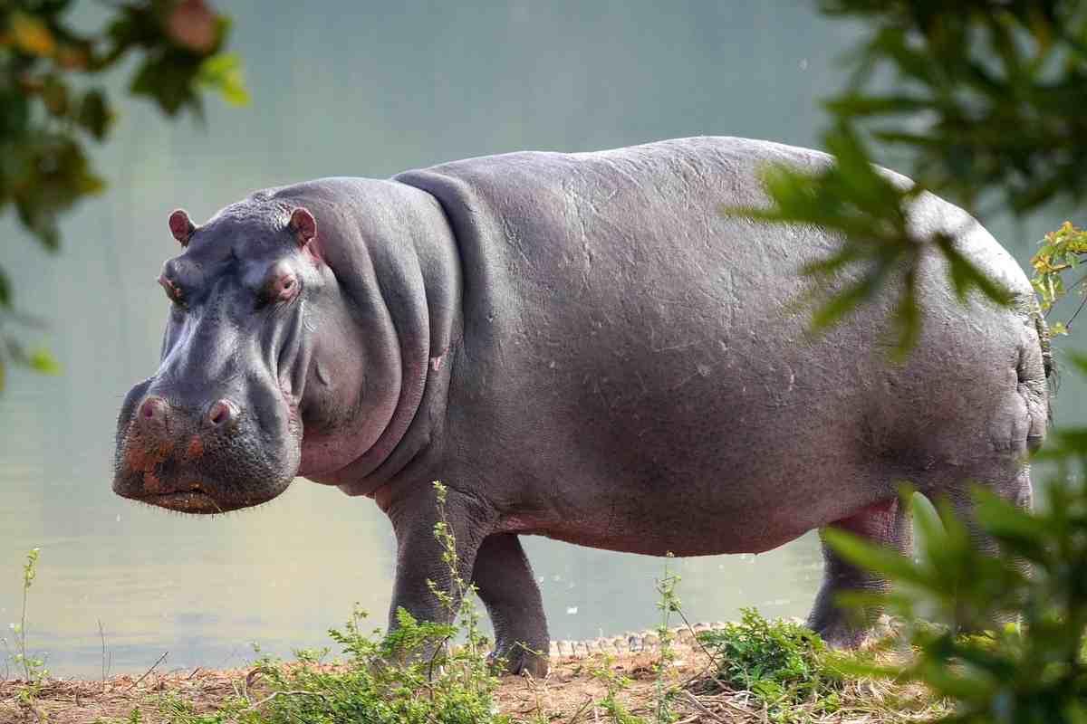 ippopotamo ubuntu 21.04 hirsute hippo
