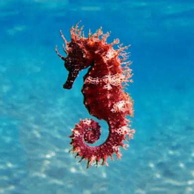 gnome seahorse